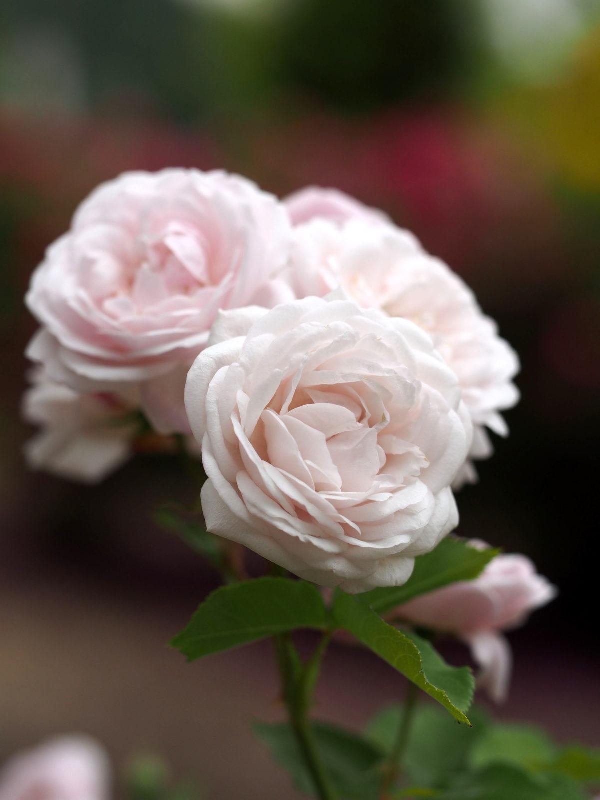 Des roses blanches pour Eunice, une femme prostituée victime de féminicide